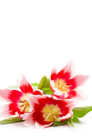 three pink tulips on a white background photo