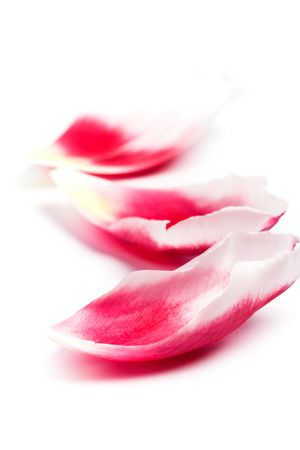 pink tulip petals closeup on white background  photo