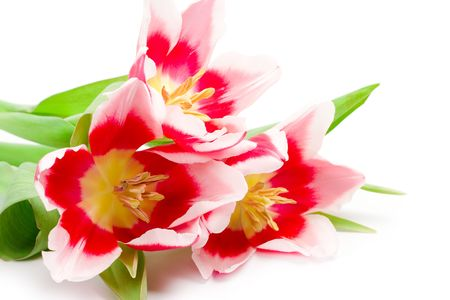 three pink tulips on a white background Stock Photo - 6363765