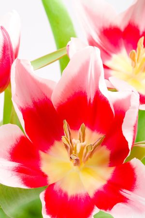 three pink tulips closeup on a white background photo