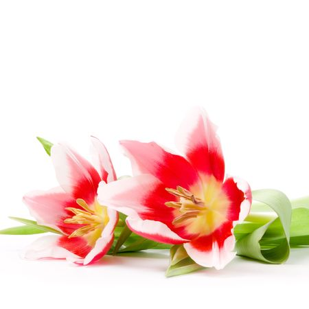 three pink tulips on a white background Stock Photo - 6485761