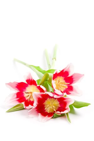 three pink tulips isolated on a white background photo