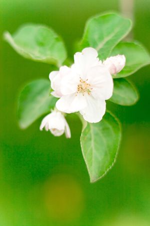apple blossom on green background photo