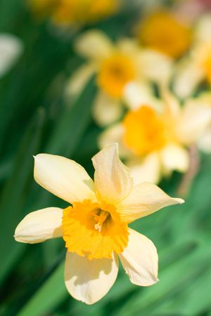 gele narcissuses close-up op een groene achtergrond
