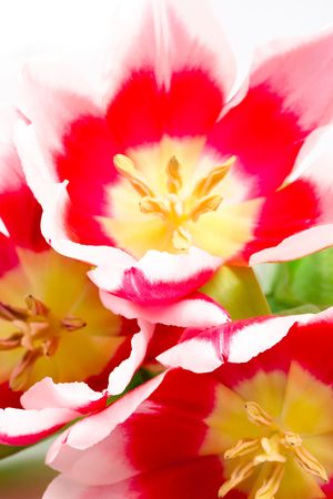 three pink tulips closeup on a white background Stock Photo - 6971961