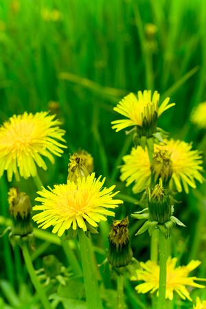 flowering dandelion on meadow Stock Photo - 6972004