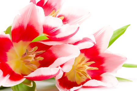 three pink tulips closeup on a white background Stock Photo - 7030030