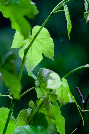 green leaves background Stock Photo - 7074066
