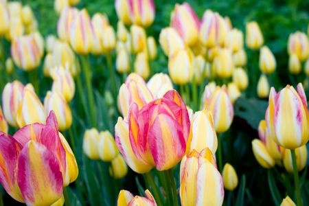 tulips, blooming in a garden. colorful flowers Stock Photo - 7074063