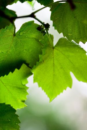 green leaves background Stock Photo - 7089371