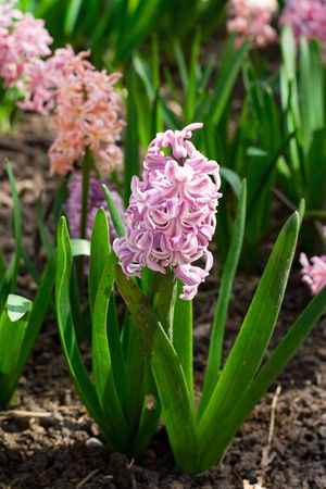 hyacinth flowers in a garden Stock Photo - 7089401