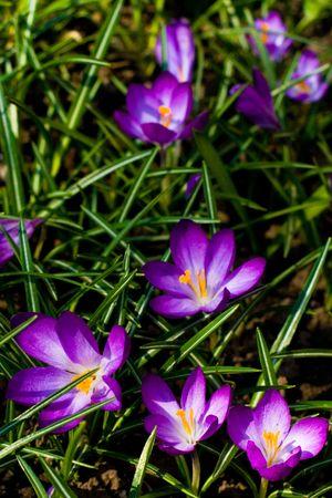 beautiful violet crocuses background photo