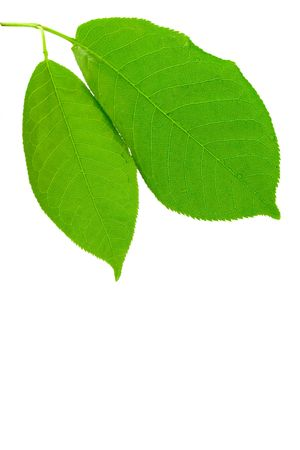 green wet leaves isolated on white background Stockfoto