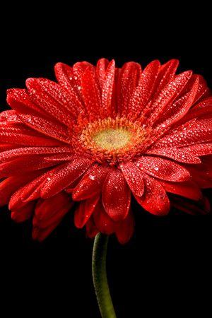 水で赤いガーベラの花を黒の背景にドロップします。