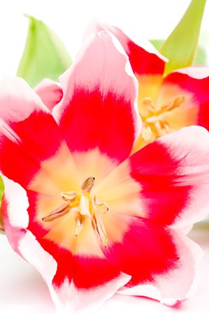 three pink tulips closeup on a white background Stock Photo - 7147064