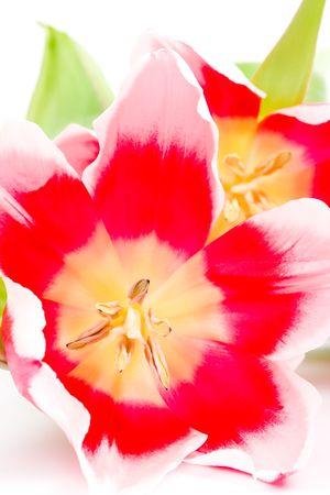 three pink tulips closeup on a white background photo