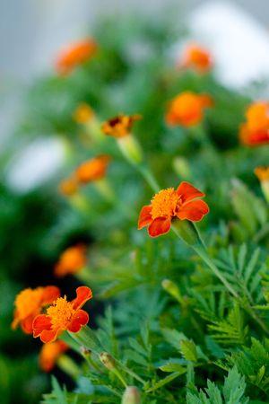 field of orange flowers closeup Stock Photo - 7207985