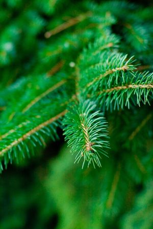 pine tree background  Stock Photo - 7333643