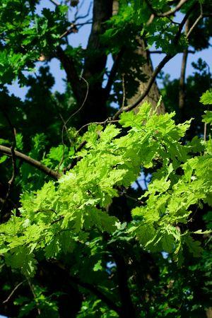 oak tree background photo