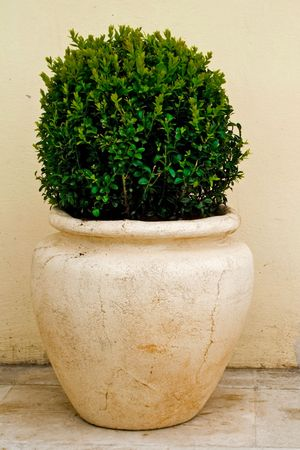 flower pot: plant in big ceramic pot on a background of wall