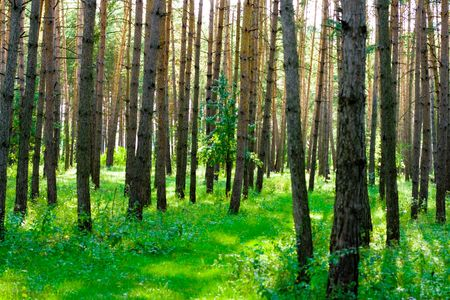 morning summer forest  photo