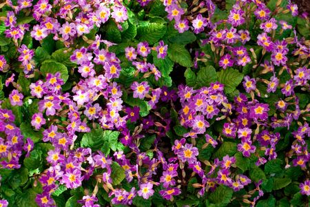 violet flowers background  photo