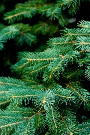 pine tree background  Stock Photo