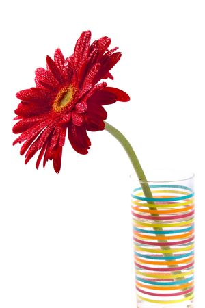 red gerbera flower in vase on white background photo