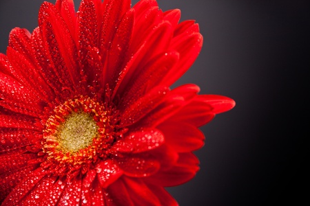red gerbera flower with water drops closeup