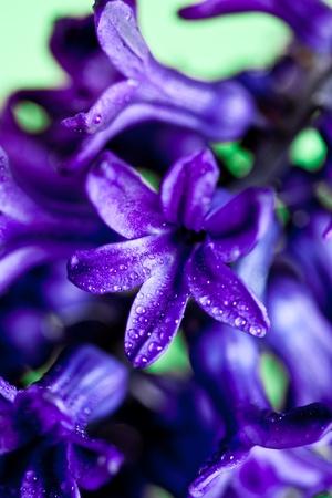 macro image of blue hyacinth on green background photo