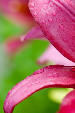 closeup image of a pink lilly flower with water drops photo