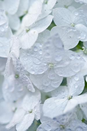 closeup image of white hydrangea with water drops photo
