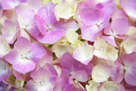airiness: closeup image of pink hydrangea Stock Photo