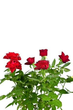 red roses with water drops on white background photo