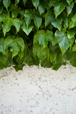 ivy growing on old wall closeup  photo