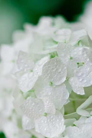 airiness: closeup image of white hydrangea with water drops