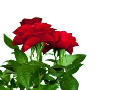 velvety: red roses on white background