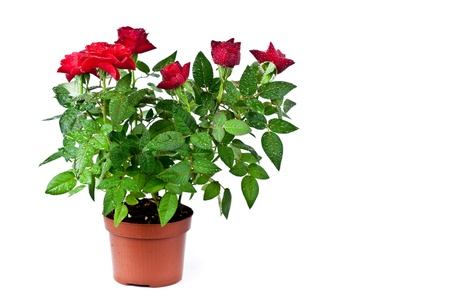 big flower: red roses with water drops in a pot on white background Stock Photo