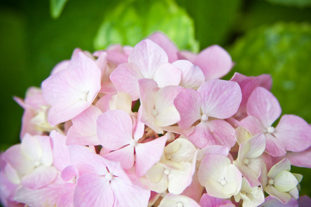 airiness: closeup image of hydrangea flower Stock Photo