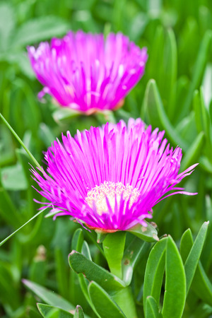 daisys: two pink mesembryanthemum daisy flowers in the garden Stock Photo