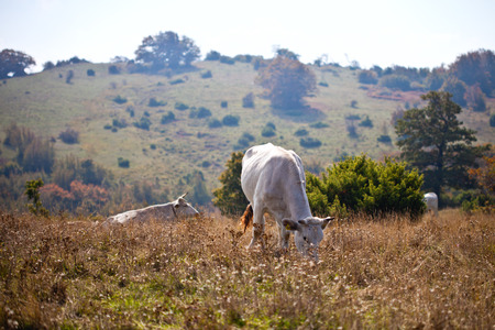 Cow in the pasture.View of cow on grass at the meadow. Village landscape Imagens