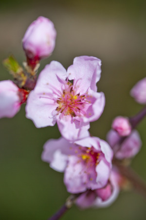 Spring blossoms, pink peach flowers closeup. 写真素材