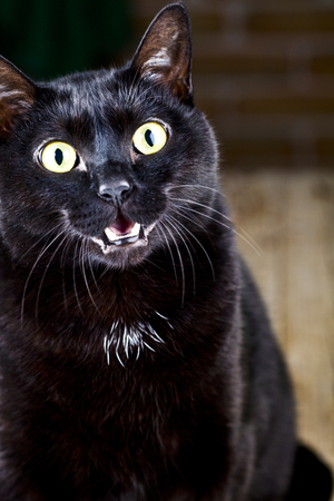 Funny black cat sitting and looking at the camera. Closeup cute pet portrait. Stock Photo