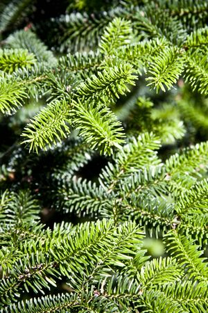 Pine tree brunch closeup. Green spruce. Christmas fir tree background. Stockfoto
