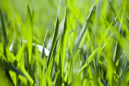 Field of green grass background. Summer meadow closeup. Stockfoto