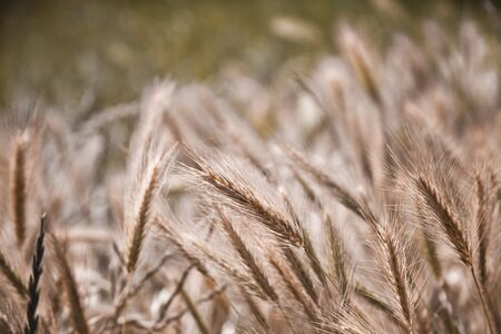 Organic golden ripe ears of wheat in field, soft focus, closeup, agriculture background.