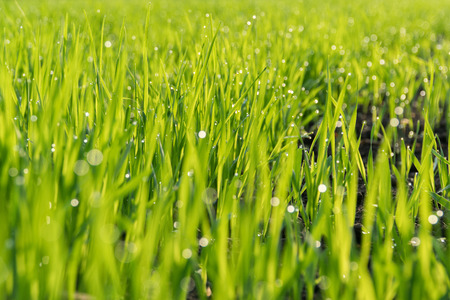 Morning dew on the green shoots of oats.