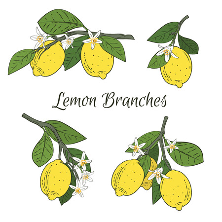 Set collection of branches with Lemons, green leaves and flowers. Citrus fruits isolated on white background. Vector illustration.