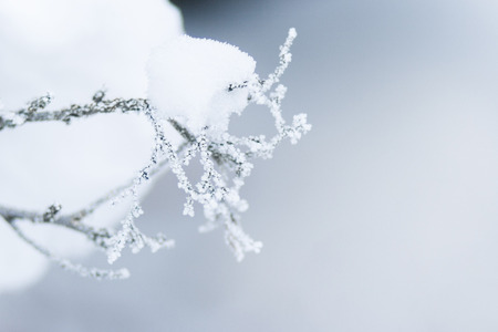 The branches in the snow and frost on a gray background are winter magic for Christmas and New Year.