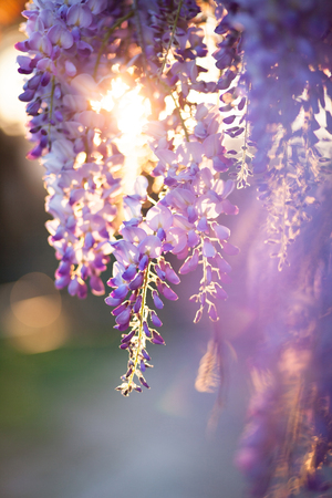 Beautiful wisteria flowers are blooming in spring on the sunset in the garden.
